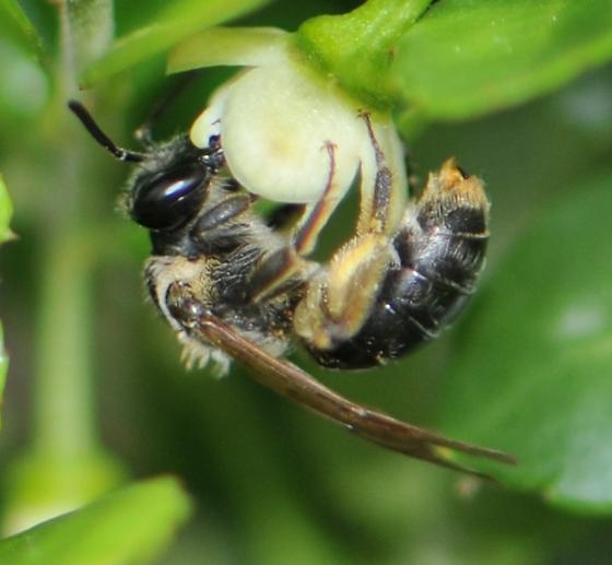 Mining Bee (Andrena nuda) - Andrena nuda - female