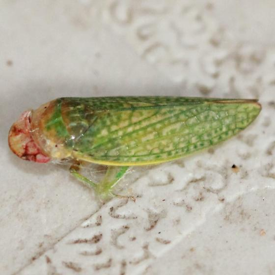 Pink Faced Green Textured Leafhopper - Lateral - Rugosana querci