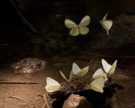 Moths - Pieris marginalis