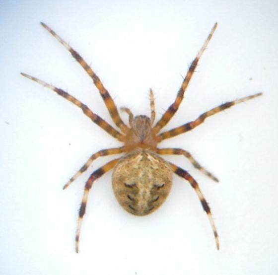 Neoscona - female