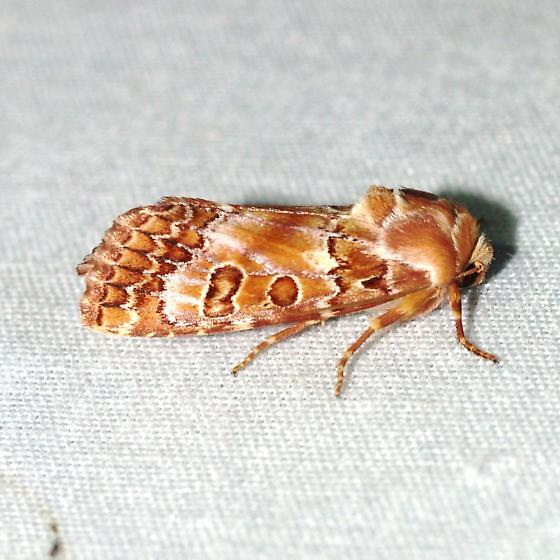 moth - Hypotrix hueco