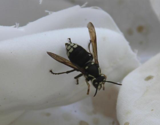Dolichovespula maculata - female