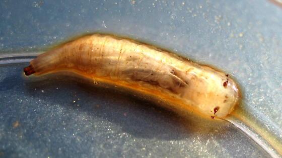 Spilomyia larva?  - Spilomyia citima