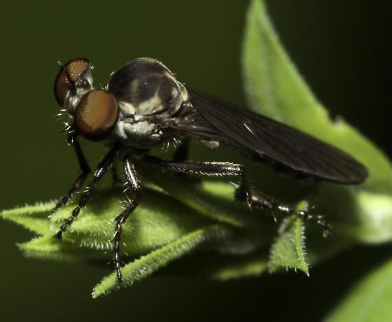 Backyard robber - Holcocephala fusca