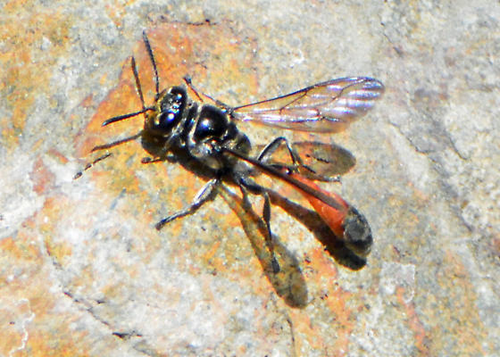 Source of Embarassment: A fly or a wasp? (I'm pretty sure it's the former.) - Trypoxylon