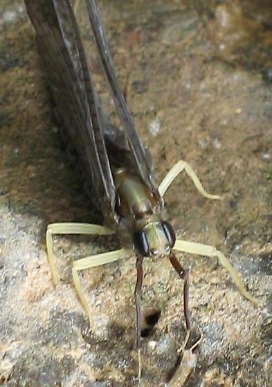 dark mayfly  - Isonychia