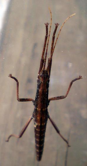 Pseudophasmatidae? - Anisomorpha ferruginea