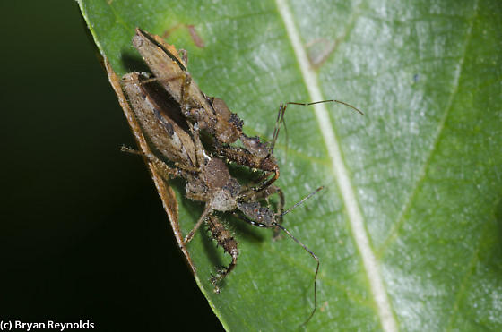Assassin Bugs mating - Sinea - male - female