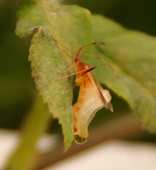 Grotesque bug deformity - Creontiades rubrinervis