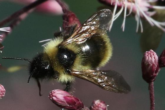 High Elevation Bumblebee, North Carolina - Bombus fernaldae
