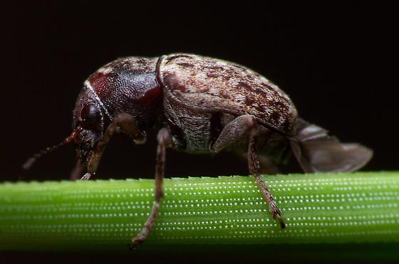 Leaf Beetle? - Araecerus fasciculatus