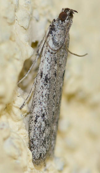 moth - Phycitodes mucidella