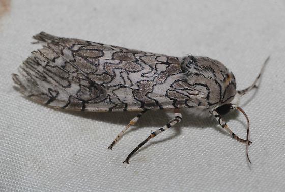 Painted tiger moth? - Hypercompe suffusa