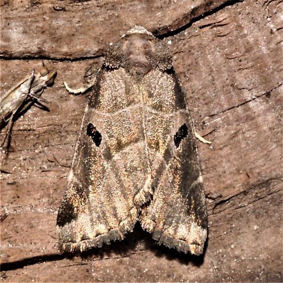 Plagiomimicus pityochromus - Plagiomimicus pityochromus