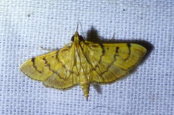 unknown moth - Omiodes indicata