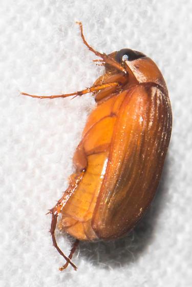 Orange scarab - Nipponoserica peregrina