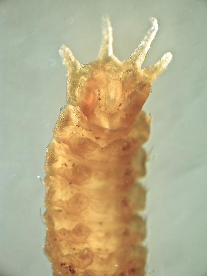 larva posterior - Oreogeton
