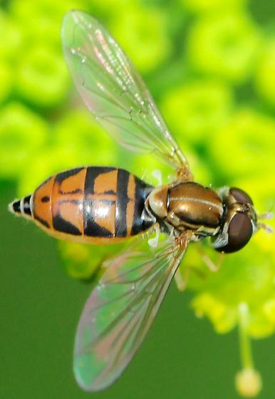 Syrphidae Toxomerus marginatus - Toxomerus marginatus