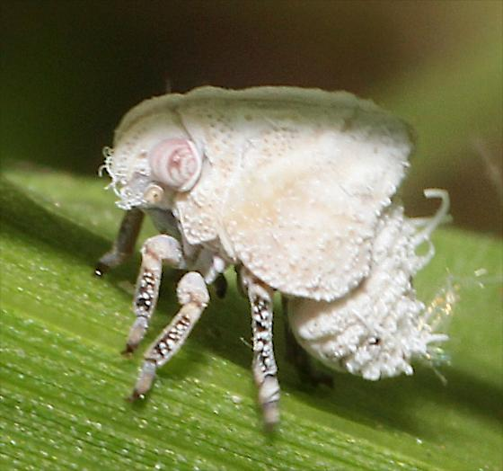 Flatid Planthopper - Acanalonia