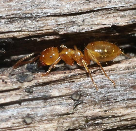 Small orange ant - Lasius arizonicus