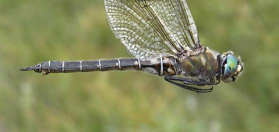 Hudsonian Emerald - Somatochlora hudsonica - female