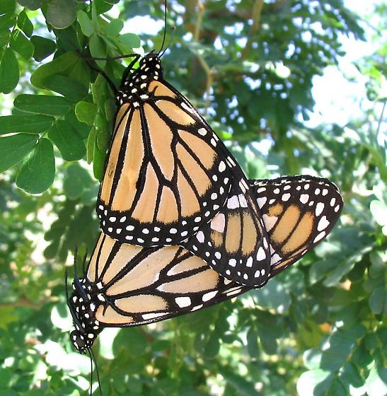 Monarch Butterfly - Danaus plexippus - male - female
