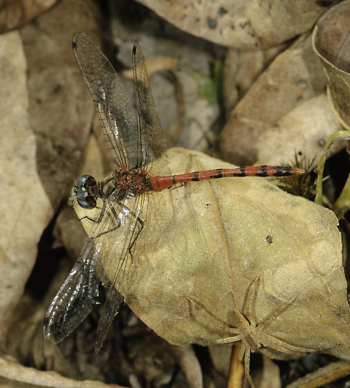 Didn't notice the spider till later - Sympetrum ambiguum - male