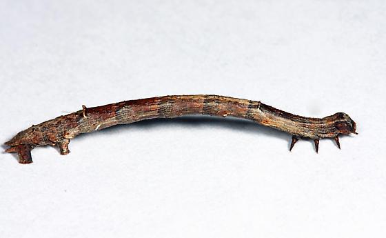 Least-marked Euchlaena - Euchlaena irraria