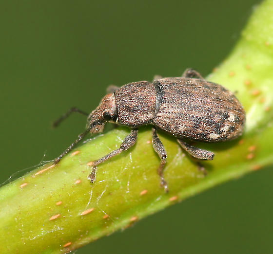 Broad-nosed weevil - Dyslobus decoratus