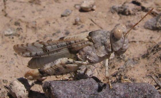 Band-winged Grasshopper? - Cibolacris parviceps