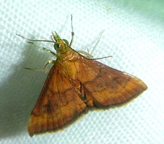 Pyrausta rubricalis - Variable Reddish Pyrausta Moth - Pyrausta rubricalis