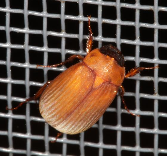 Beetle on a screen at night - Nipponoserica peregrina