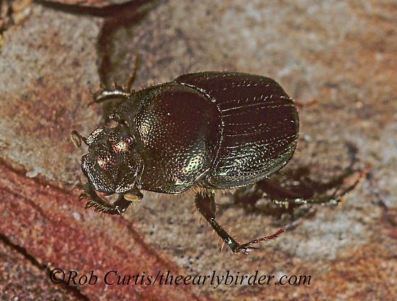 1286804 Geo - Onthophagus orpheus