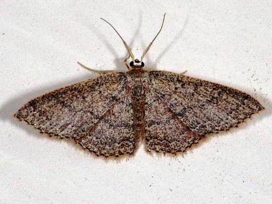 Moth - Pleuroprucha - male