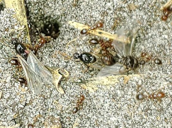 Nuptial Flight - Solenopsis invicta - male - female