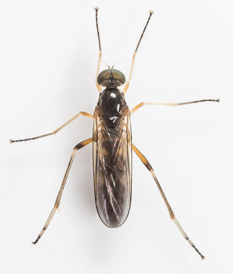 Fly - Dialysis elongata - male