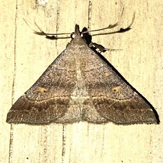 Renia flavipunctalis - male