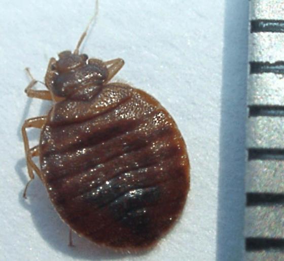 please help identify - Cimex lectularius