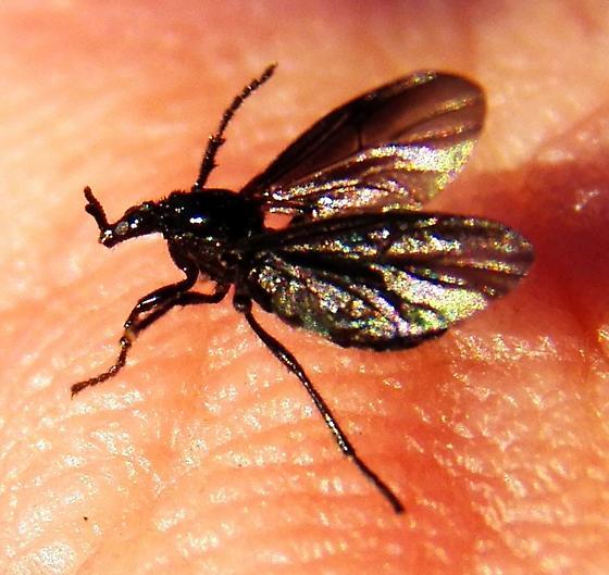 Dilophus orbatus confirmation