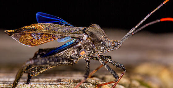 Leaf Footed Bug ?? - Acanthocephala terminalis