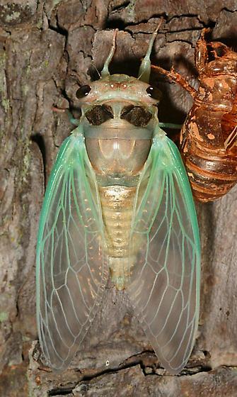 Tibicen - Neotibicen lyricen - female