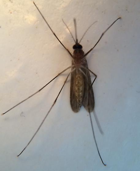 Mosquito - Culex restuans - female