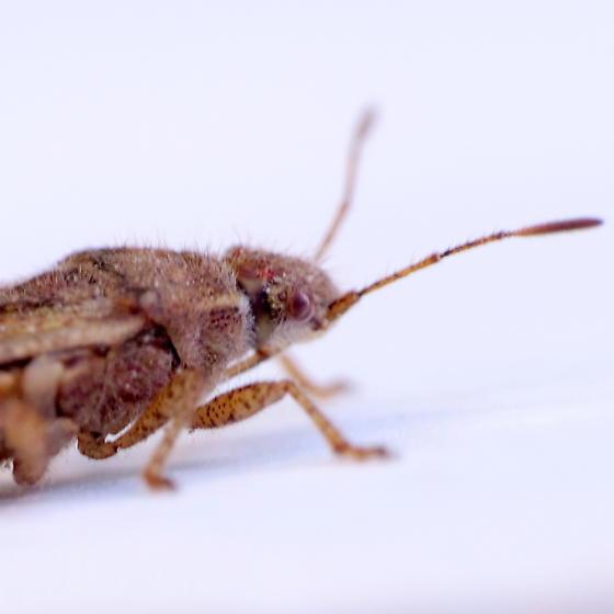 Coreid - Catorhintha? - Arhyssus scutatus