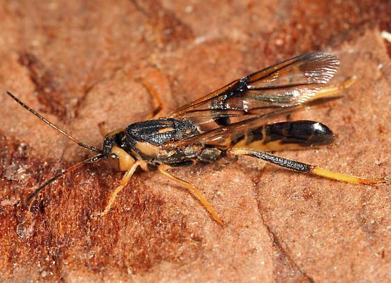 Wood wasp? - Ibalia anceps