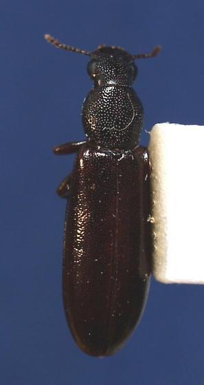 B. unicolor - Boros unicolor