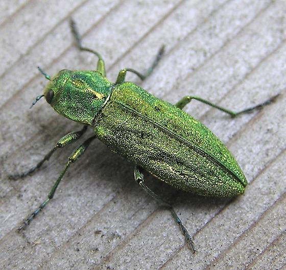 Green beetle - Trachykele blondeli