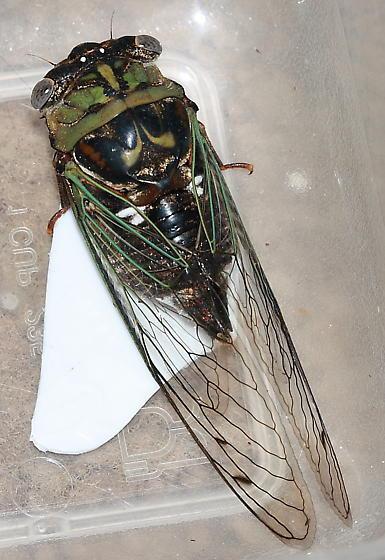 Cicada - Megatibicen resh - female