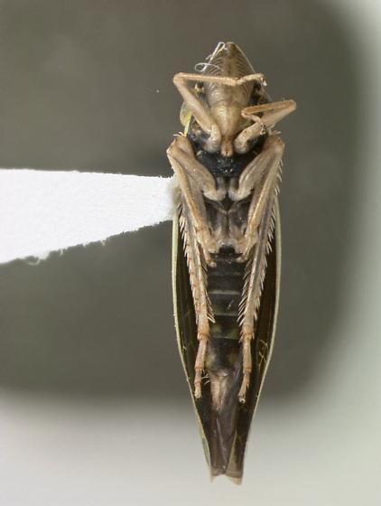 Cicadellidae - Draeculacephala minerva