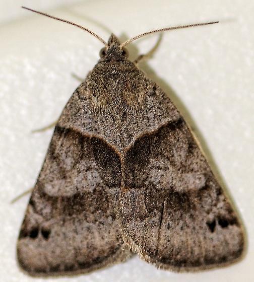 Forage Looper moth? - Caenurgina crassiuscula