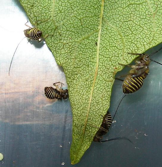 hemiptera nymphs? - Cerastipsocus venosus